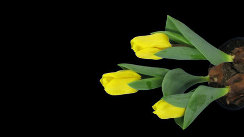 Time-lapse of growing yellow tulip in a pot 11v (DCI-2K),... Stock Video Footage