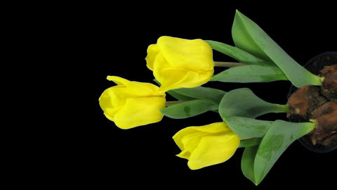 Time-lapse of growing yellow tulip in a pot 11v (DCI-2K), vertical composition Footage