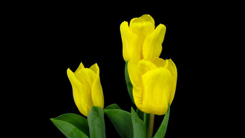 Time-lapse growing yellow tulip in pot with ALPHA matte 12 Stock Video Footage