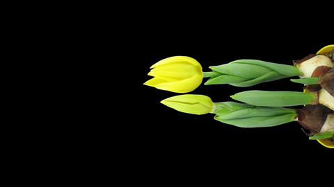 Time-lapse growing yellow tulip pot with ALPHA matte 7v... Stock Video Footage