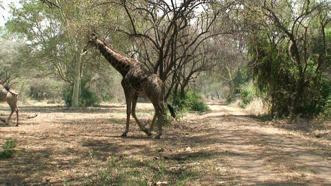 Malawi: giraffe in a wild 3 Stock Video Footage
