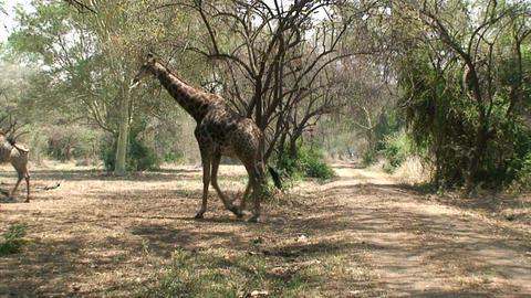Malawi: giraffe in a wild 3 Footage