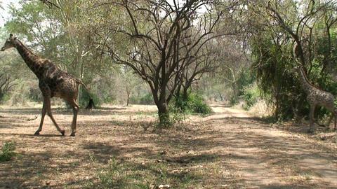 Malawi: giraffe in a wild 3 Stock Video Footage