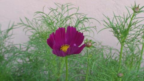 Malawi: cosmos flower 1 Footage
