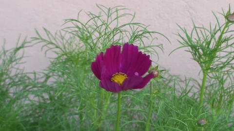 Malawi: cosmos flower 1 Stock Video Footage