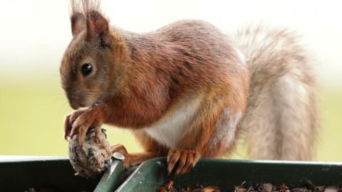 Squirrel in a balcony 1 Stock Video Footage