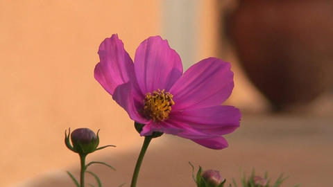 Malawi: cosmos flower 2 Stock Video Footage