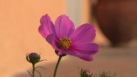 Malawi: cosmos flower 2 Footage