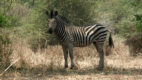 Malawi: zebra in a wild 2 Stock Video Footage