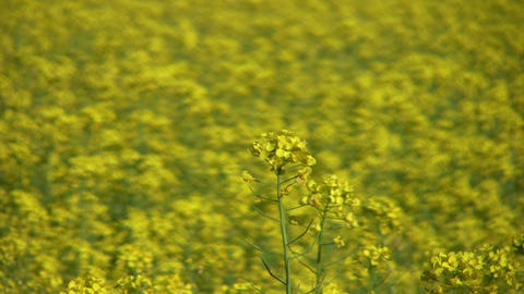 Field of rapeseed plants 6 Stock Video Footage