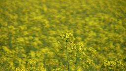 Field of rapeseed plants 6 Stock Video Footage