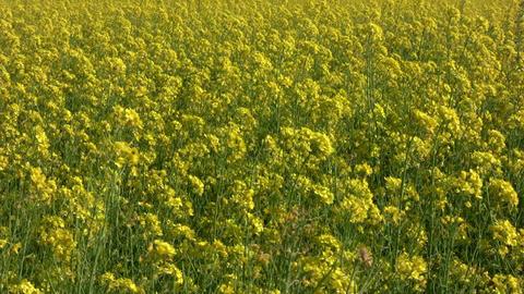 Field of rapeseed plants 2 Stock Video Footage