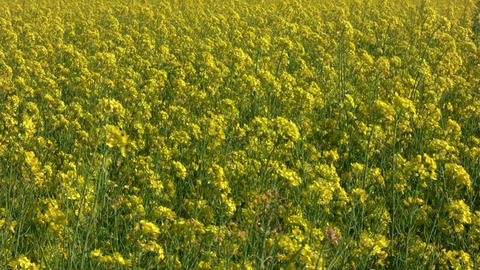 Field of rapeseed plants 2 Footage