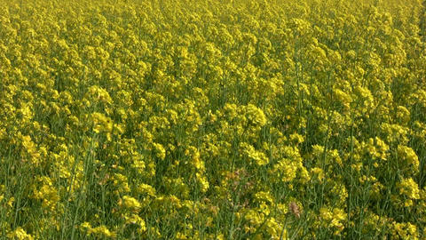 Field of rapeseed plants 2 Stock Video Footage