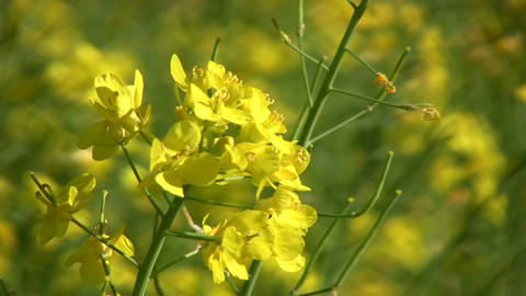 Rapeseed plants close-up Footage