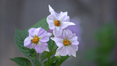 Blossoms of potato vegetable Stock Video Footage