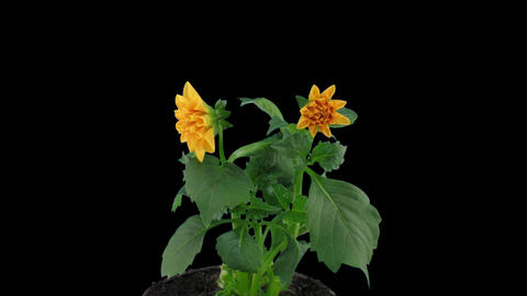 Stereoscopic 3D time-lapse of opening orange dahlia 1c... Stock Video Footage