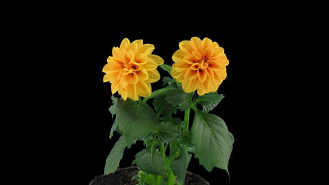 Stereoscopic 3D time-lapse of opening orange dahlia 1c (left-eye) Footage