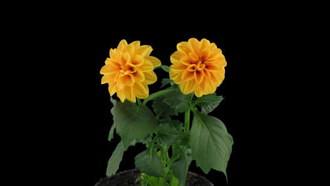 Stereoscopic 3D time-lapse of opening orange dahlia 1c (right-eye) Footage
