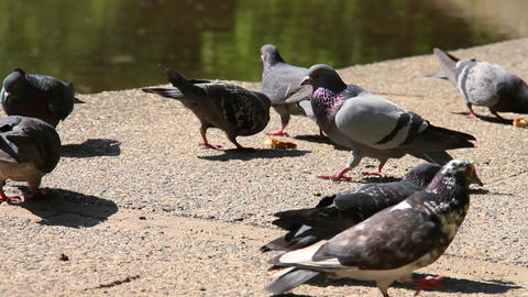 Pigeons Fighting for Food 02 Footage