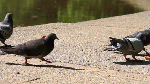 Pigeons Fighting for Food 02 Stock Video Footage
