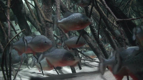 Red Bellied Piranha, close-up Footage