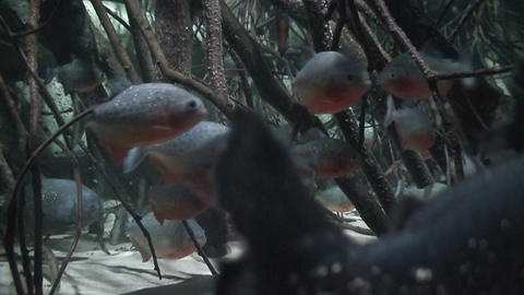 Red Bellied Piranha, close-up Stock Video Footage