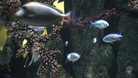 Yellow snappers and corals three, close-up Stock Video Footage
