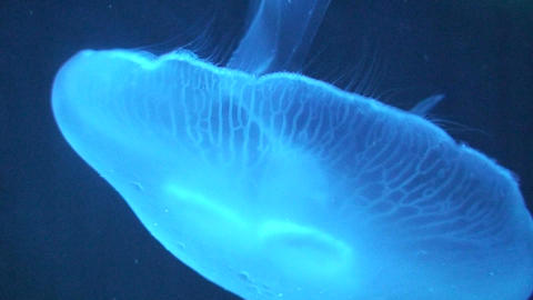 Phylum Cnidaria (Jellyfish) swimming, close-up Footage