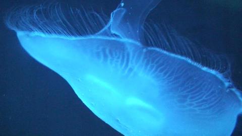 Phylum Cnidaria (Jellyfish) swimming, close-up Stock Video Footage