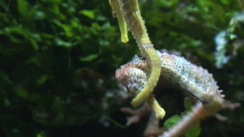 Two seahorses (Hippocampus) fight, close-up Stock Video Footage