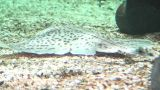 Rajidae (Skate) Fish Swimming stock footage