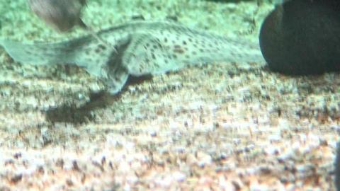 Rajidae (Skate) fish swimming Stock Video Footage