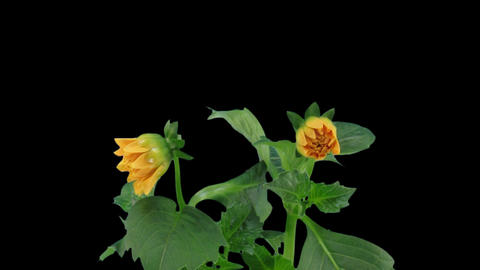 Stereoscopic 3D time-lapse of opening orange dahlia 1a... Stock Video Footage