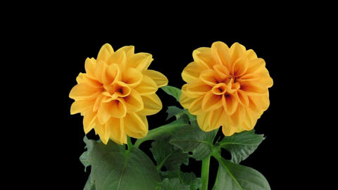 Stereoscopic 3D time-lapse of opening orange dahlia 1a (left-eye) Footage