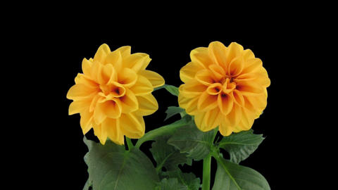 Stereoscopic 3D time-lapse of opening orange dahlia 1a (right-eye) Footage