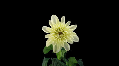 Stereoscopic 3D time-lapse of opening white dahlia 1d (left-eye) Footage