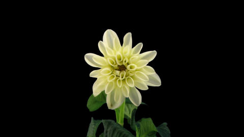 Stereoscopic 3D time-lapse of opening white dahlia 1d (right-eye) Footage