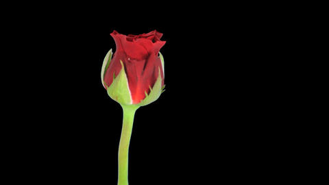Time-lapse of red rose opening 10ck blue chroma key Stock Video Footage