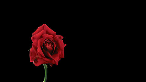 Time-lapse of dying red rose 11a isolated black time reverse Stock Video Footage
