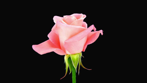 """Time-lapse of opening """"Saphir"""" rose with alpha matte 1 Stock Video Footage"""