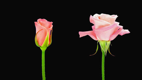 """Time-lapse of opening and dying """"Saphir"""" rose alpha matte 4d Stock Video Footage"""