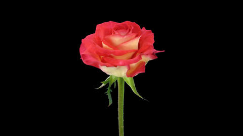 """Time-lapse of opening """"Shanti"""" rose with alpha matte 1 Stock Video Footage"""