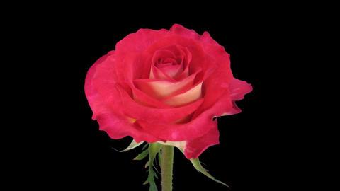"Time-lapse of opening ""Shanti"" rose 2c Stock Video Footage"
