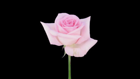 """Time-lapse of opening """"Sweet Akito"""" rose with alpha matte 1 Stock Video Footage"""