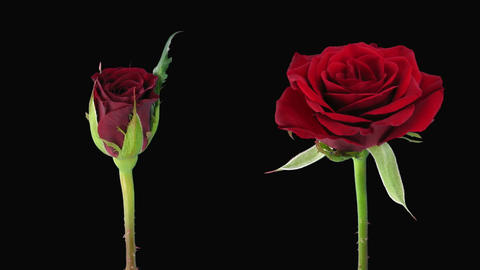 """Time-lapse of opening and dying """"Valentino"""" rose alpha... Stock Video Footage"""