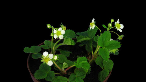Time-lapse of blooming strawberry 1 with ALPHA matte Stock Video Footage