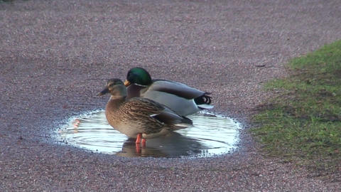 Couple of Mallard ducks, close-up Footage