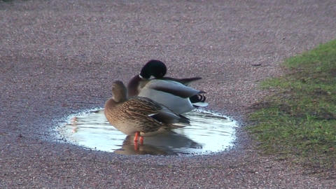 Couple of Mallard ducks, close-up Stock Video Footage