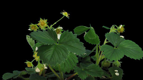 Time-lapse of blooming strawberry 3 with ALPHA matte Stock Video Footage